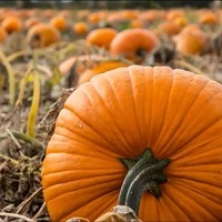 Undley Farm Pumpkin Patch & Maize Maze