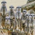 Meerkat Meets at Suffolk Owl Sanctuary