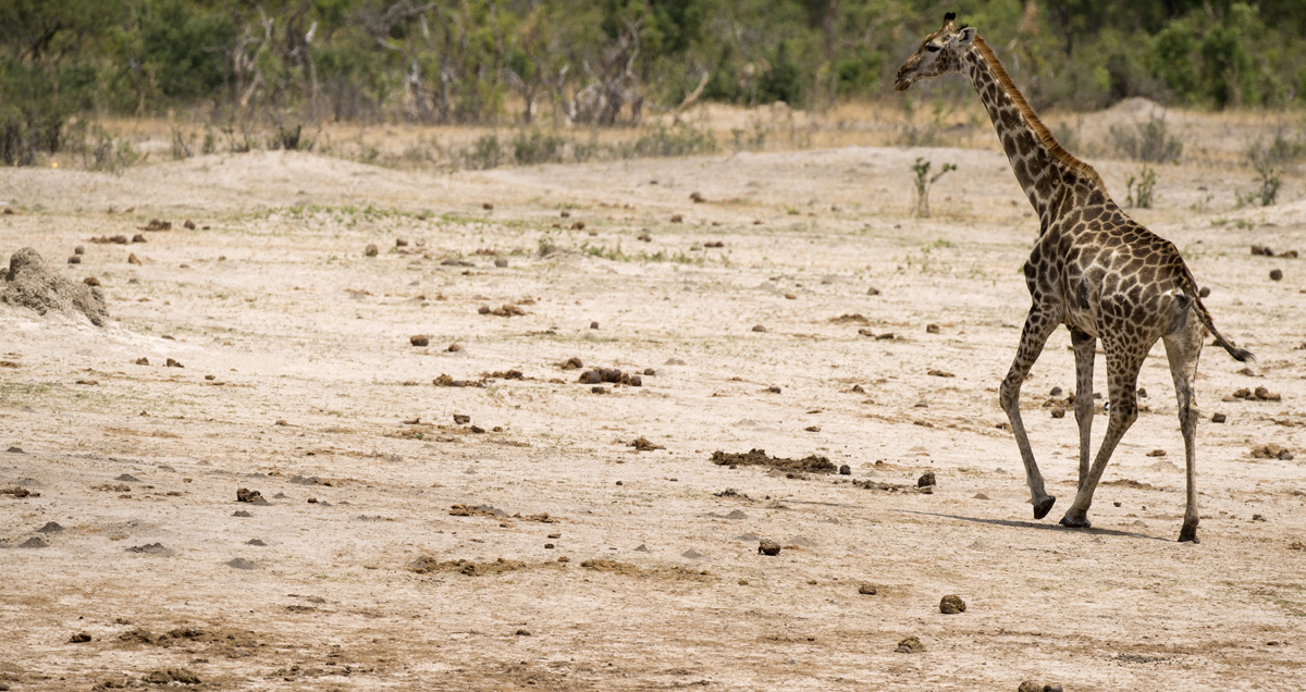 bwin-giraffe