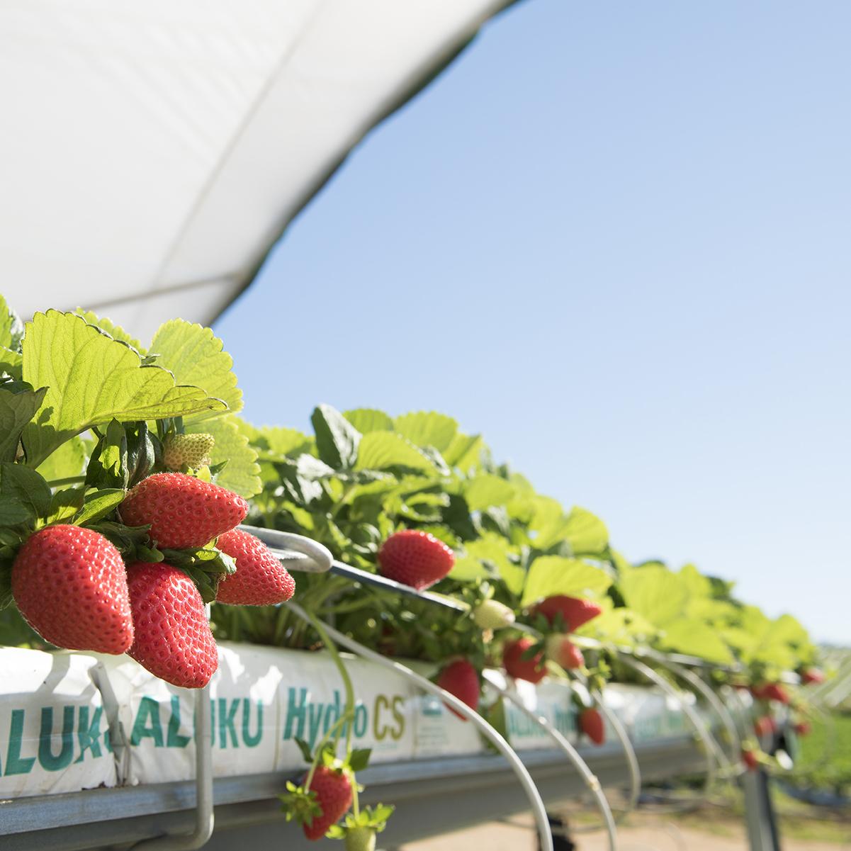 BerryWorld Farms