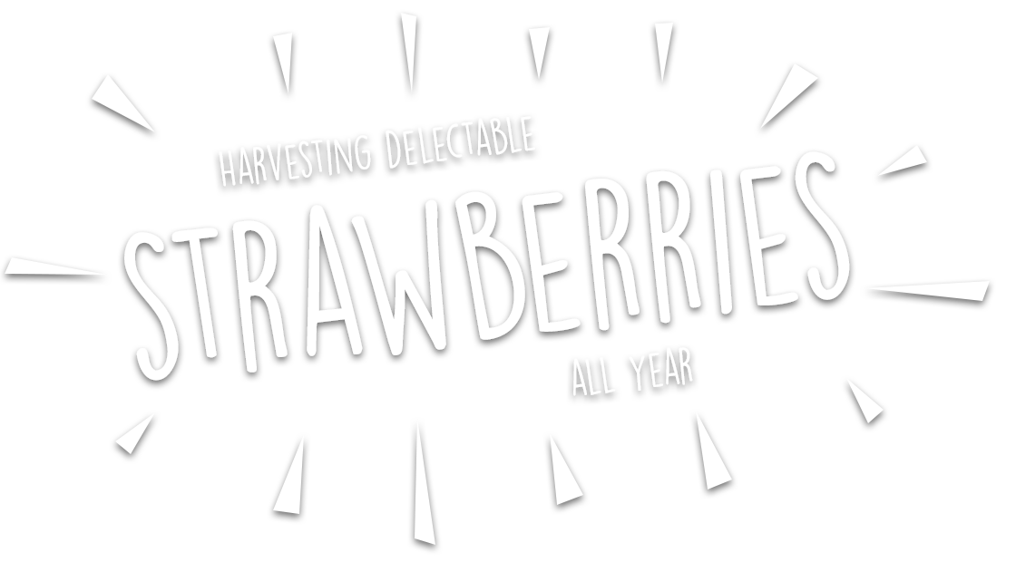 Harvesting delectable strawberries all year