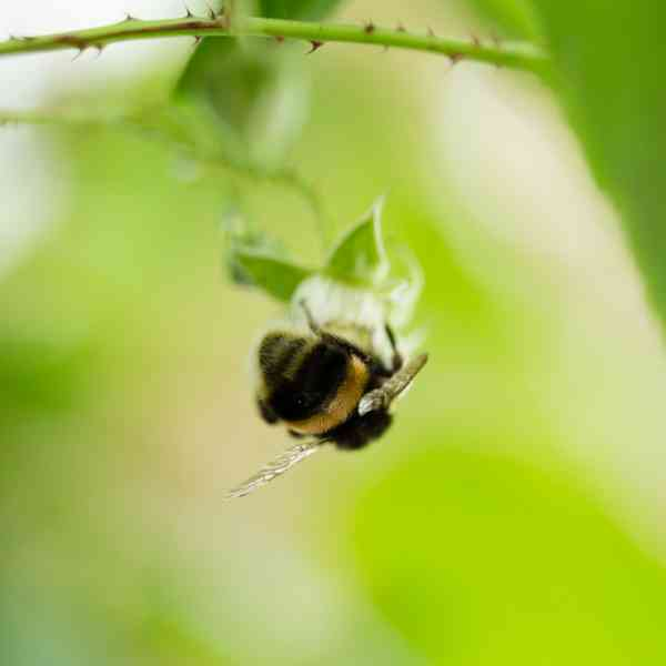 Bee Squarejpg