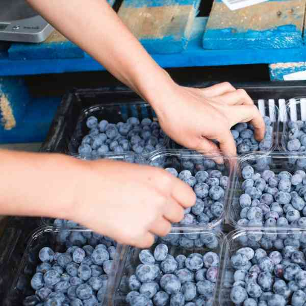 Hand Picking Blueberries From Punnet