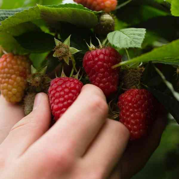 Hand Picking Raspberries