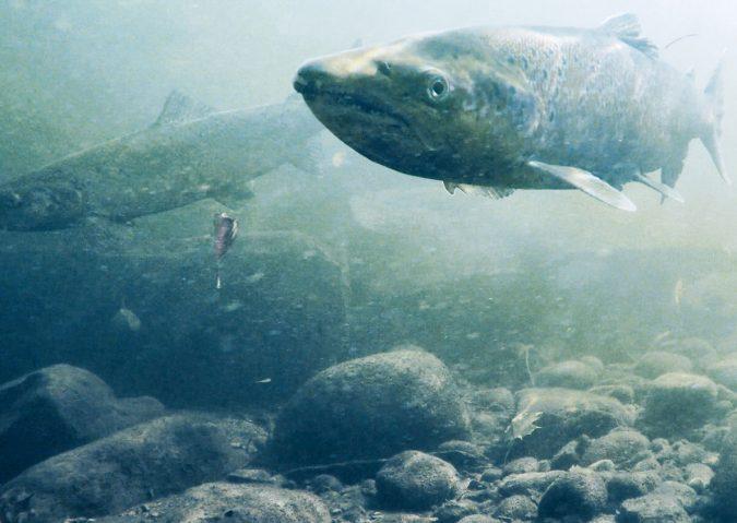 Fisk som skal gyte i Akerselva