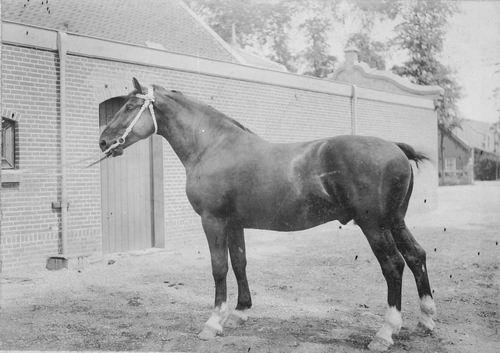 Bulk Cornelis 1885 19__ Paard Cicero II