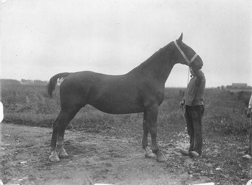 Bulk Cornelis 1885 19__ Paard Pastra