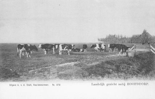 Haarlemmermeer Koeien 1903 01