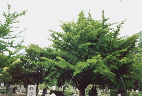 Hoofdweg O 0776 199_ Ginkgo bomen op Begraafplaats 02