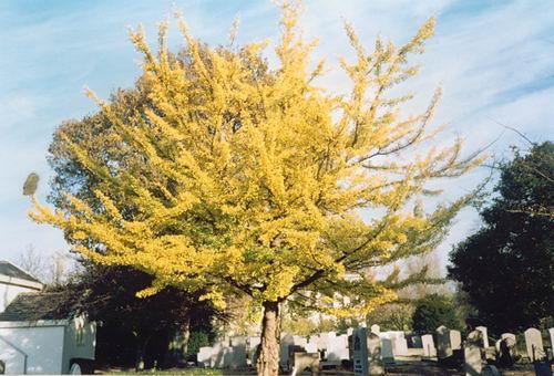 Hoofdweg O 0776 199_ Ginkgo bomen op Begraafplaats 05