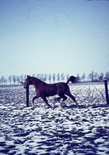 Hoofdweg O 0900 197_ Paard in de Sneeuw 06