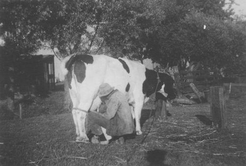 <b>ZOEKPLAATJE:</b>&nbsp;Onbekend Koeien Melken in fotoalbum Corrie Marbus