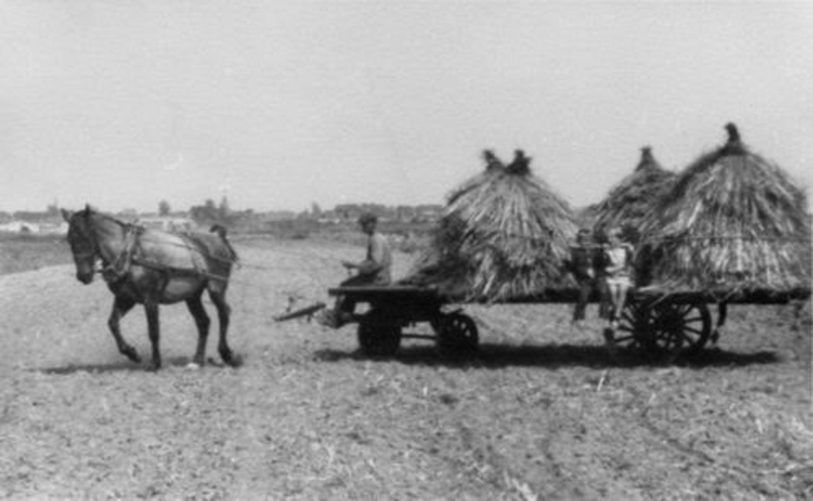 Karweioogst 1946± bij v Egmond 02 Kros met Karwij
