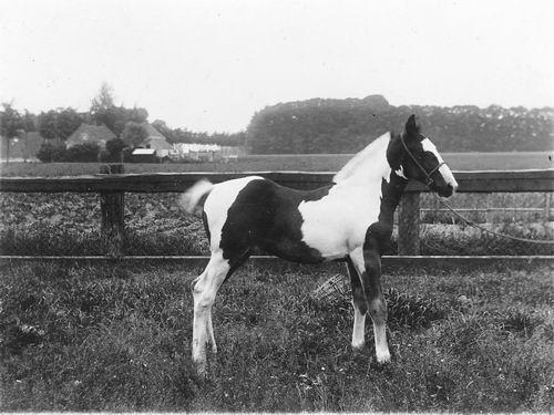 Vlieger Cornelis de 1873 19__ Fokker Bont Paarden Veulen