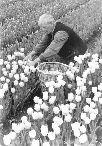 Vlieger Dirk de 1906 19__ Handmatig Tulpen Koppen