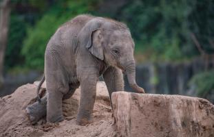 Anjan the Asian Elephant