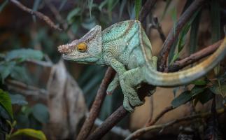 Mr Parsons the chameleon