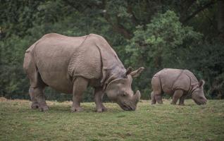 Akeno the Greater One Horned Rhino calf