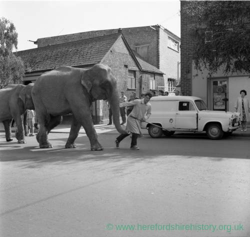 Elephants from Billy Smart's Circus, with handler, in 1962