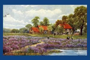 Lavender Farm, Mitcham
