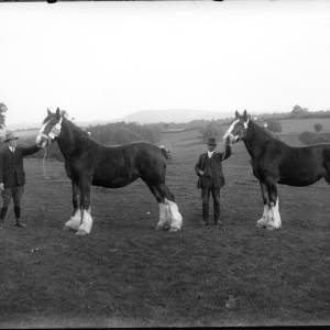 G36-242-03 Two men with dressed heavy horses displaying prize awards.jpg