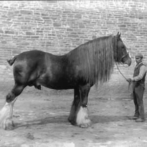 G36-244-01 Large stallion held by stockman.jpg