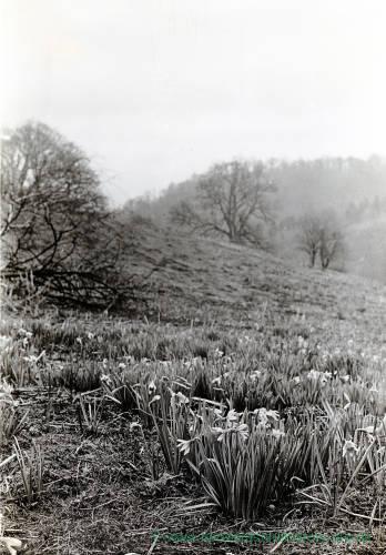 Wormsley Daffodils, 1931