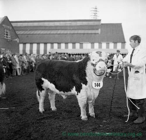A prize bull and handler at the annual bull show and sale at Hereford Cattle Market Jan 1972.