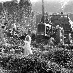 Children, Hop Pickers and a Tractor in a Herefordshire Hop Yard, 1966
