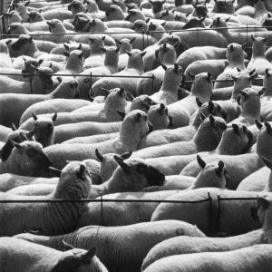 Sheep at Hereford Cattle Market.
