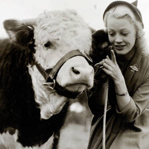 A Hereford bull and Patricia Dainton
