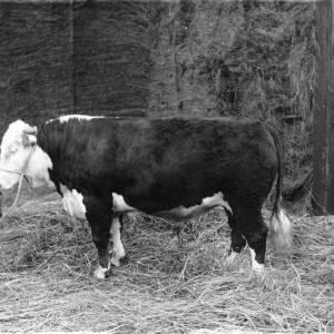 G36-076-04 Bull.jpg