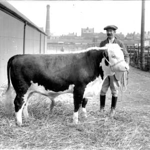 G36-318-12 Hereford bull at market with owner.jpg