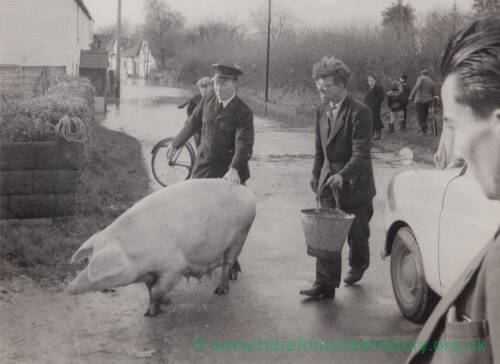 A sow being moved away from floodwater.