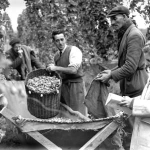 Hop Busheller Wilfred Lane and Clerk Molly Morgan at Work at Manor Farm, Monkland, Herefordshire