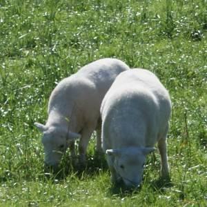 Lambs grazing, Herefordshire