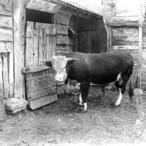 G36-326-08 Hereford Bull.jpg
