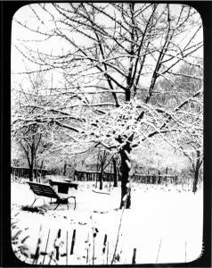 Cherry tree in Francis family garden, pictured in winter