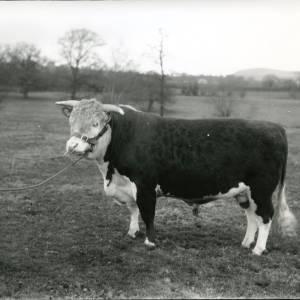 G36-214-06 Hereford bull in a field.jpg