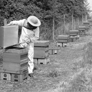 Bee-keeping for Bulmer's Cider