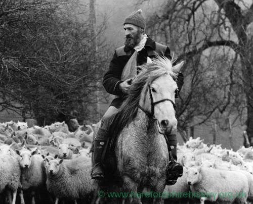 094 - Man on horseback leading flock of sheep