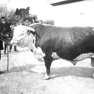 A prize bull with handler.