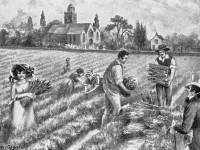 Lavender fields, Mitcham