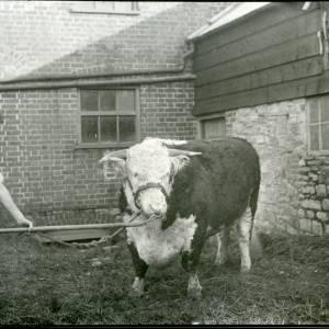 G36-194-20 Hereford bull.jpg