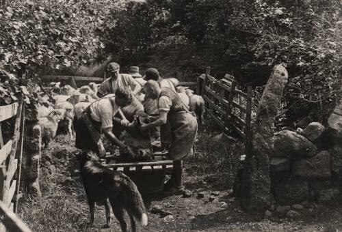 Sheepshearing, c1930, Moretonhampstead