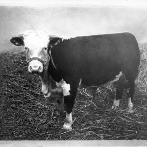 G36-245-12 Photograph of a photograph of a bull, signed W.H. Bustin.jpg