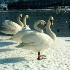 Swans in South Marine Park