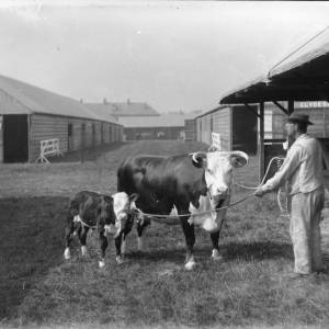 G36-305b-01 Stockman holding cow and calf.jpg