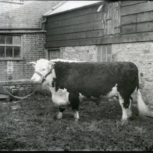 G36-194-19 Hereford bull.jpg