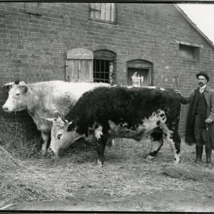 G36-015-12 Two cattle (one a Hereford bull) at side of building and man with a walking stick.jpg